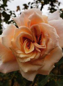 a peach coloured rose